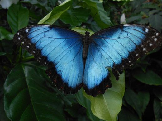 With wings wide open, this blue morpho butterfly is taking a rest from all of his activities.
