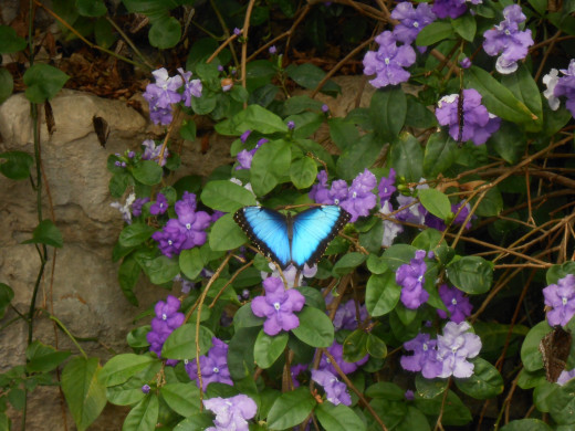 This is near the water, and the turquoise blue morpho is resting on some pretty purple flowers.  I just love the color combination.