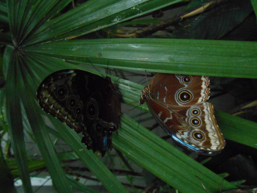 Two blue morpho butterflies, seeming to communicate on leaves.