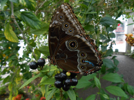 The Blue Morpho isn't really interested in eating these, he seems to be just resting for a bit.