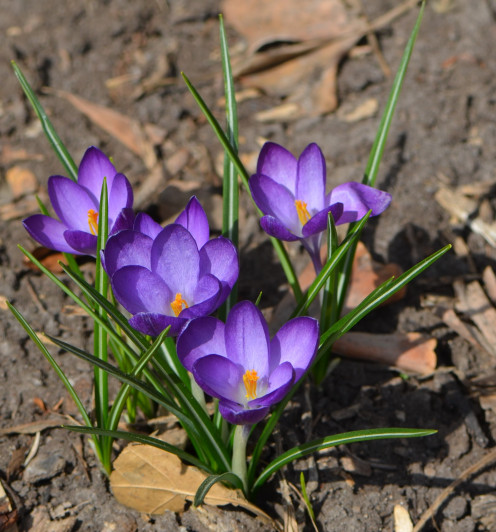 These purple snow crocus flowers were so beautiful in the sunshine