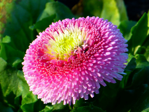 Bellis Flower Daisy Multiannual Daisy Composites