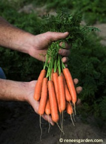 "French, ""Baby Babette"" carrots are small, tender and fast growing. Plant three times in spring. Sow a few seed every two weeks for a steady supply."