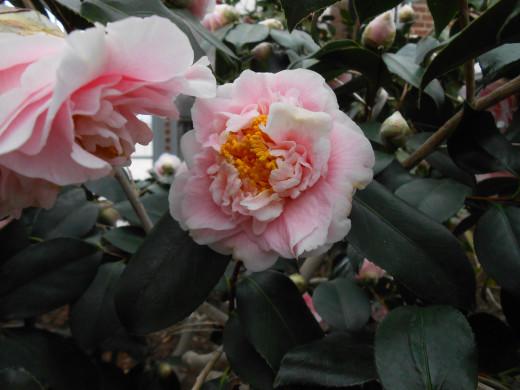 Camellia Japonica, 'C.M. Wilson' - Theaceae.