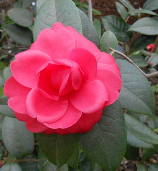 Camellia 'Jinqu' Theaceae - A gorgeous deep pink flower.