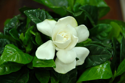 File: Gardenia flower.jpg   Author Ayman Babelly  CC-BY-SA-3.0 migrated