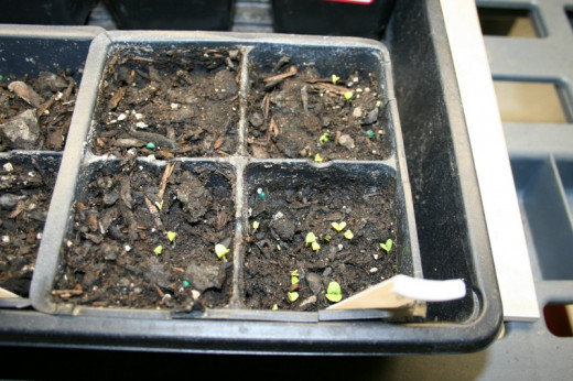 Basil seedlings. I missed the back left corner when placing the seeds.