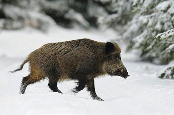 "These are the ""friendly"" pigs' dangerous rural cousins, the wild hog. They can severely injure a person"