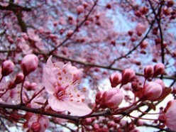 What is your favorite flowering tree?