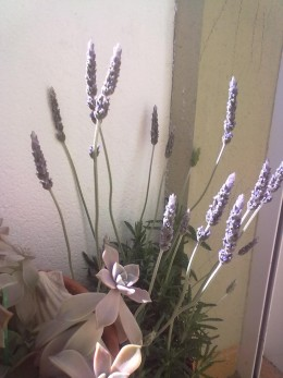 Butterflies and insects love lavender. Mosquitoes hate them.