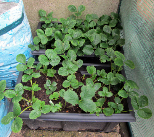 Same Containers with Strawberry Plants after a few months Growth.