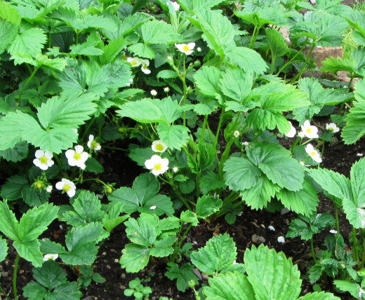 Flowers on  Strawberry Plants