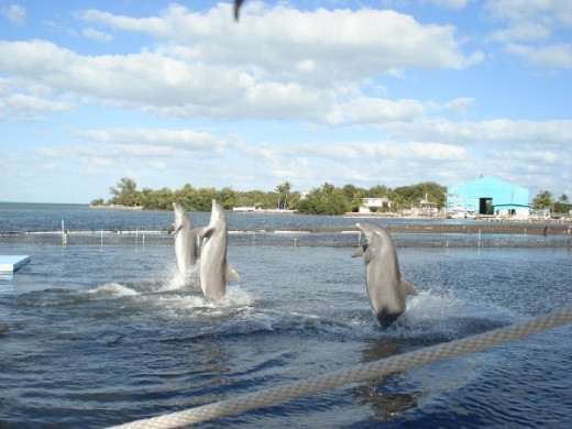 "Dolphins are powerful animals, supporting themselves out of the water in the ""tail walk"" behavior."