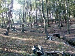 A newly coppiced wood, where previously the canopy was too thick to allow ground growth Copyright Mark Hillary from Flickr