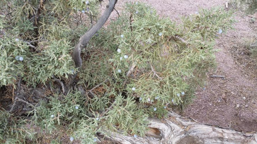 Juniper trees are abundant in this area of Oregon