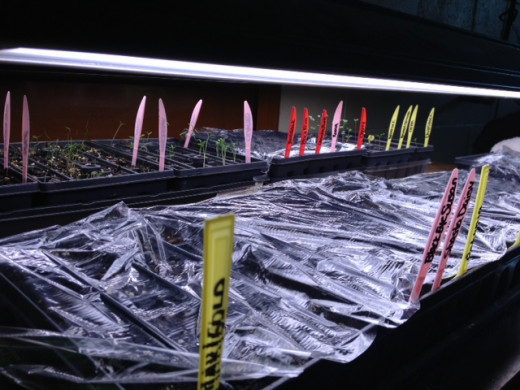 We use plastic knives to mark the seedlings in their starter trays.