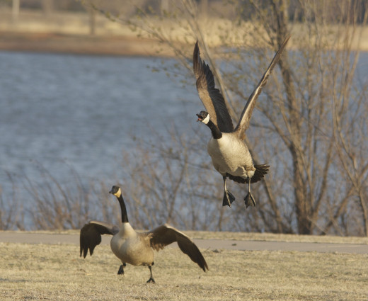 Canada Goose Liftoff