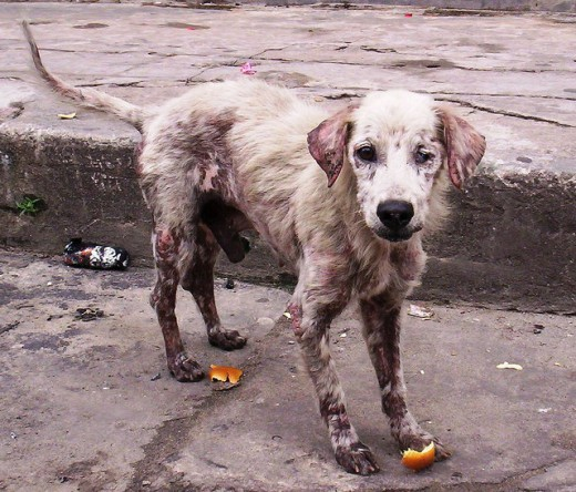 A dog might start out with mange but will then have to be treated for an infection.