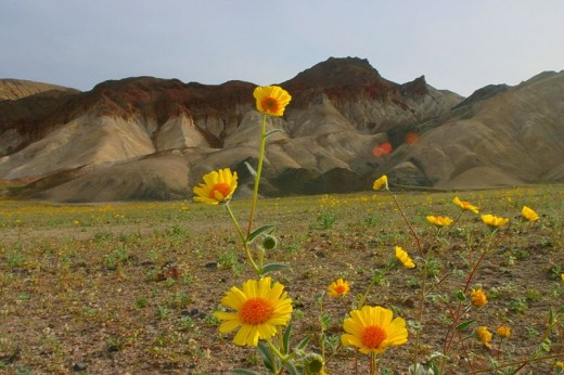 Wildflowers in Death Valley National Park.