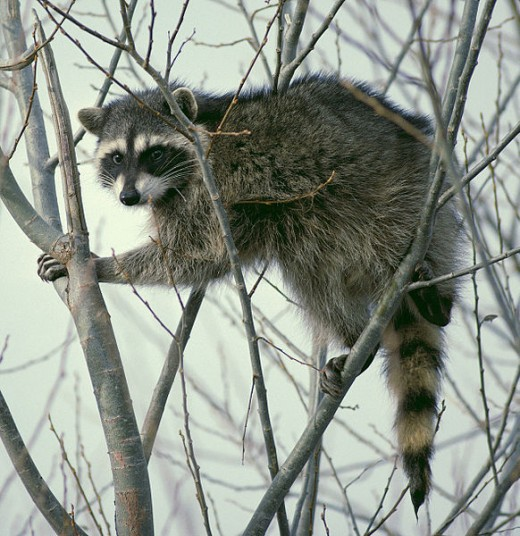 Raccoon in tree,  Lower Klamath National Wildlife Refuge in California.