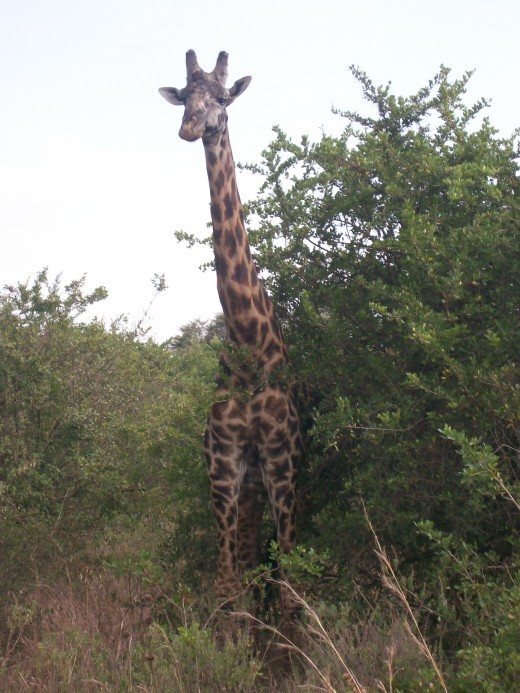 Upon my entering the park.  The first animal I see, my favorite, the Giraffe of course!