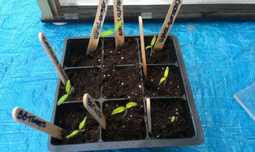 Costoluto and Bloody Butcher Seedlings