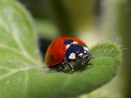 Lady bug patrollling for Aphids. This is one bug you want to see in your garden!