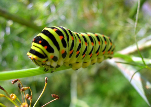 We love seeing the butterflies, but their offspring like this swallowtail caterpillarcan do some serious damage in our gardens