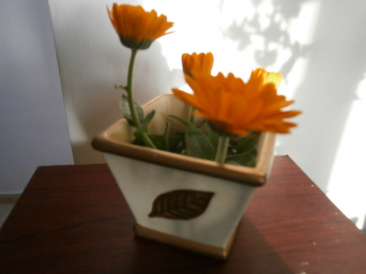 No garden is complete without a Marigold