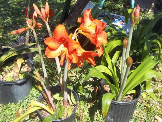 My friend Carol's wonderful lillies