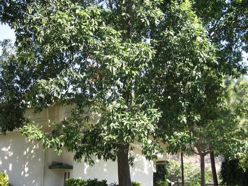 Rudraksha is a large evergreen tree