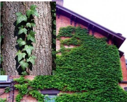 Climbing Ivy.