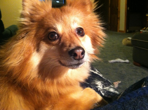 My Pomeranian ~ Remy