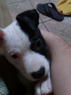 Lady: the half American Bulldog and half Lab puppy