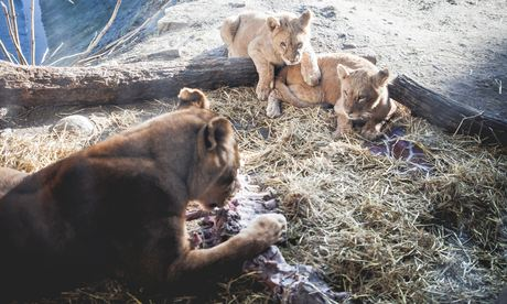 Lions eating the remains of Marius the giraffe at Copenhagen zoo last month.