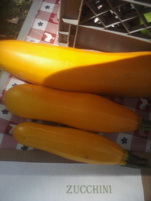 Golden Zucchini that you can grow and use if you don't have the green to make the Chocolate Zucchini Cake Recipe.