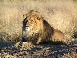 250px-Lion_wait...