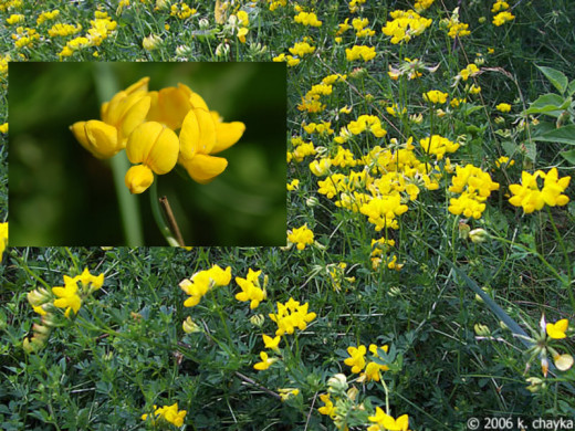 Birds Foot Trefoil.