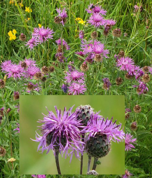 Greater Knapweed.