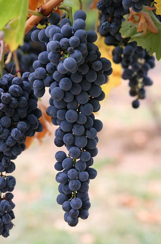 397px-Wine_grap...