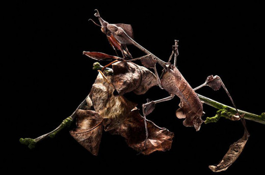 A female praying mantis mimicking dead leaves on a branch. Do you see it?