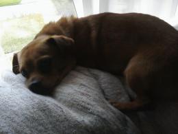 Chihuahua mixed, example of small breed dog
