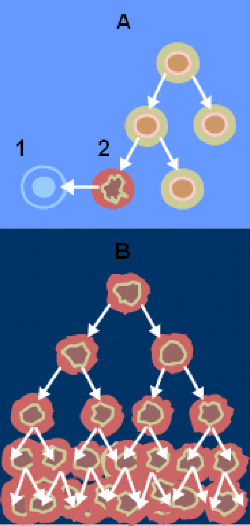 A - normal cell division, B - cancer cell division; 1 - apoptosis; 2 - damaged cell. From the National Cancer Institute.