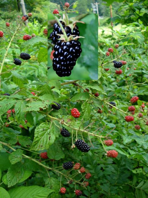 Blackberry Bush.