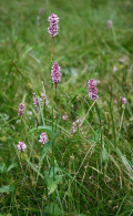 The Bistort, Persicaria bistorta { past and present medicinal uses }