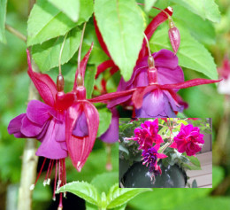 Fuchsia.