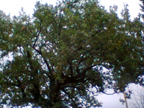 The Oak tree at the entrance of our property.