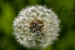 No need to fear the dandelion. There is hope for seasonal allergy sufferer's.
