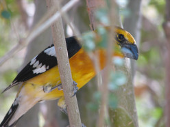 The Mexican Yellow Grosbeak. (It is also Known Simply as Yellow Grosbeak).