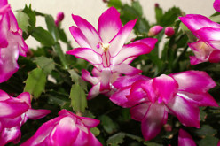 Top 10 Easy to Grow Flowering  Ornamental Houseplants